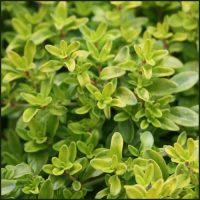 Thyme, Golden - Thymus pulegioides aureus