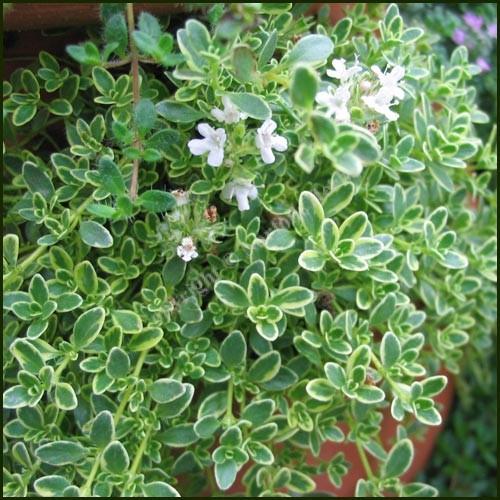 Thyme, Highland Cream - Also known as Hartington Silver