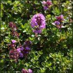 Thyme, Creeping Lemon - Thymus pulegioides Kurt