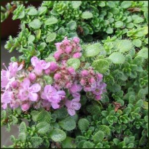 Thyme, Minor - Minimus - Thymus serpyllum minor