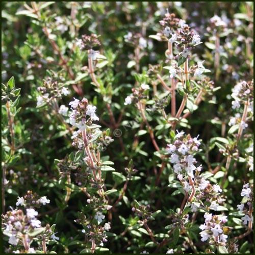Thyme, Fragrant - Thymus fragrantissimus aka Orange Scented Thyme