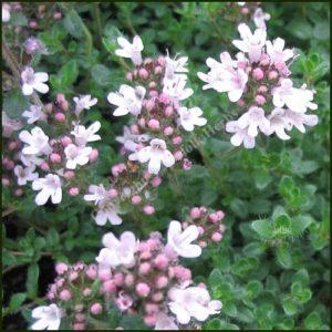 Thyme, Pink Chintz - Thymus serpyllum