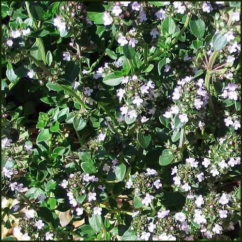 Thyme, Tabor -Thymus pulegioides
