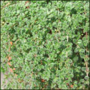 Thyme, Woolly - Thymus lanuginosus