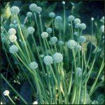 Welsh Onion - Allium fistulosum