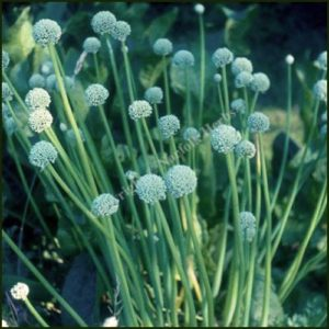Welsh Onion - Allium fistulosum