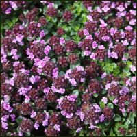 Thyme, Wine and Roses - Thymus caborn Wine and Roses