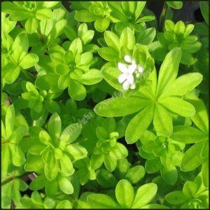 Woodruff, Sweet - Asperula oderata