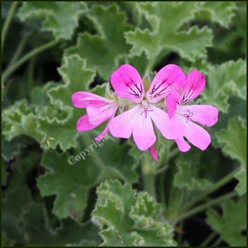 Scented Pelargonium Pink Capitatum