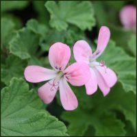 Scented Pelargonium - Geranium - 'Sweet Mimosa'