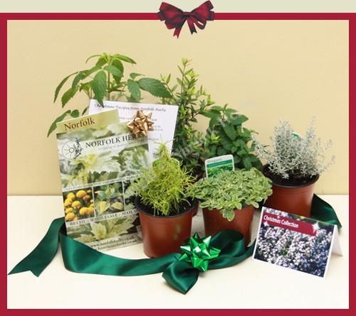 Buy meadowsweet filipendula ulmaria from norfolk herbs - Aromatic herbs pots multiple benefits ...