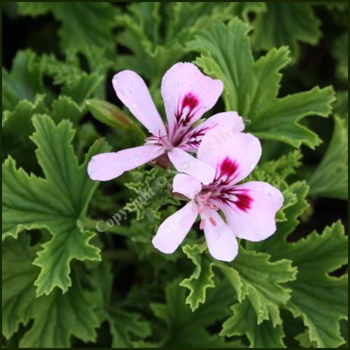 Scented Pelargonium - Geranium - 'Frensham'