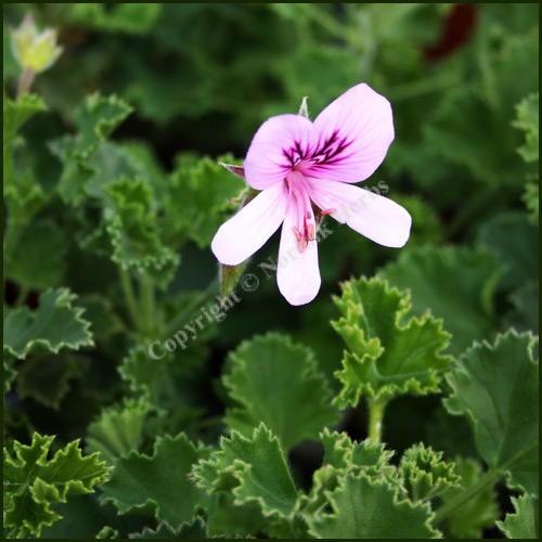 Scented Pelargonium - Geranium - 'Nervosum'