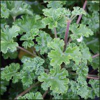 Scented Pelargonium - Geranium - 'Old Spice'