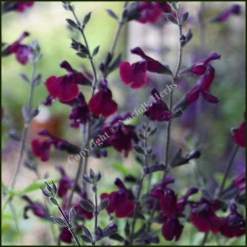 Salvia Nachtvlinder - Salvia jamensis