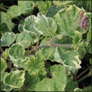 Scented Pelargonium - Geranium - Atomic Snowflake