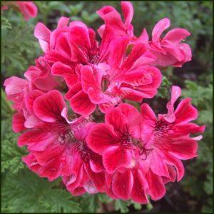Pelargonium Madame Nonin