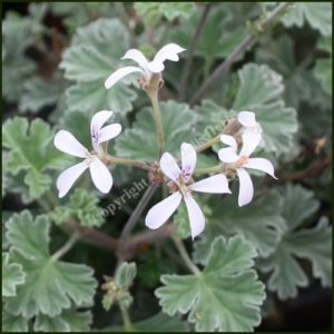 pelargonium ardwick cinnamon