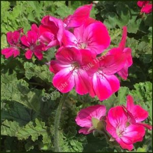 pelargonium brilliant