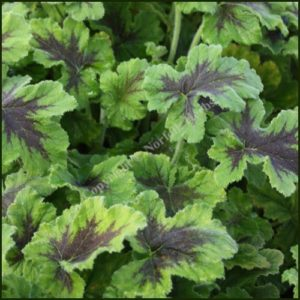 pelargonium-chocolate-peppermint