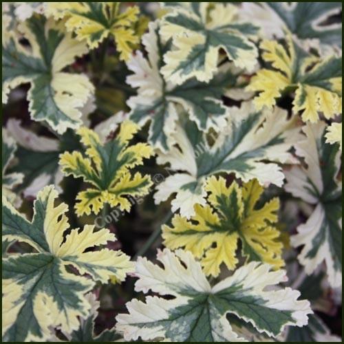 pelargonium phyllis