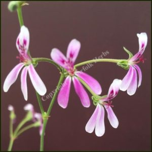 pelargonium richard gibbs