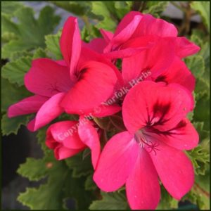 pelargonium welling