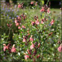 Salvia, Senorita Leah - Salvia greggii