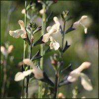 Salvia, Lutea - Salvia microphylla
