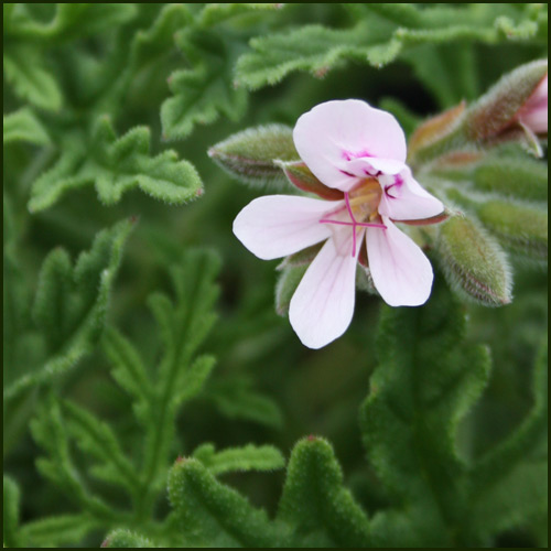 Scented Pelargonium - Geranium - 'Candy Dancer'