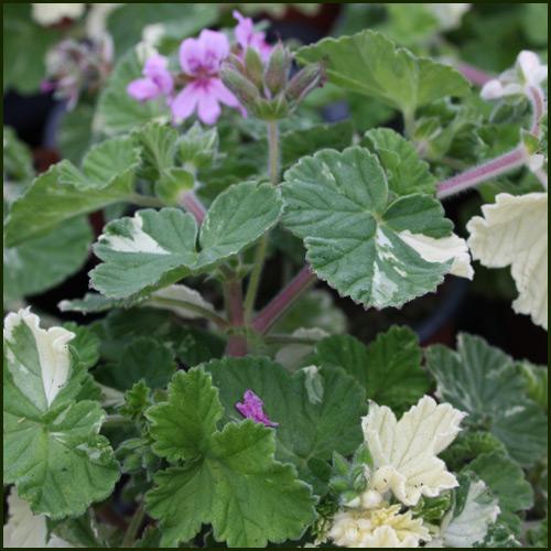 Scented Pelargonium - Geranium - 'Charmay Snowflurry'