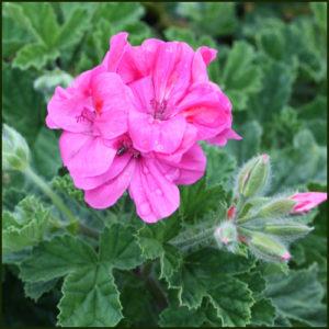 Scented Pelargonium - Geranium - 'Clorinda'