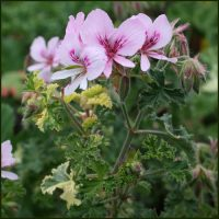 Scented Pelargonium (Geranium) Crispum 'Peach Cream'