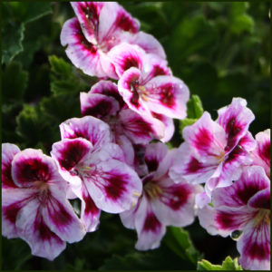 Scented Pelargonium - Geranium - 'Needham Market'