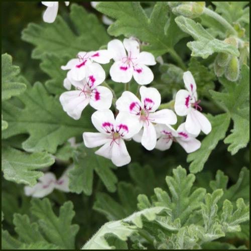 Scented Pelargonium - Geranium - 'Southernwood'