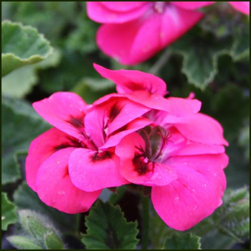 Scented Pelargonium - Geranium - 'Welling'