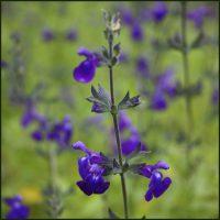 Salvia, Purple Queen – Salvia greggii
