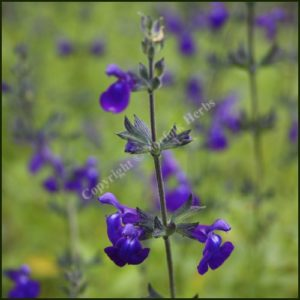 Salvia, Purple Queen – Salvia greggii