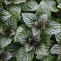 Mint, After Eight - Mentha piperita