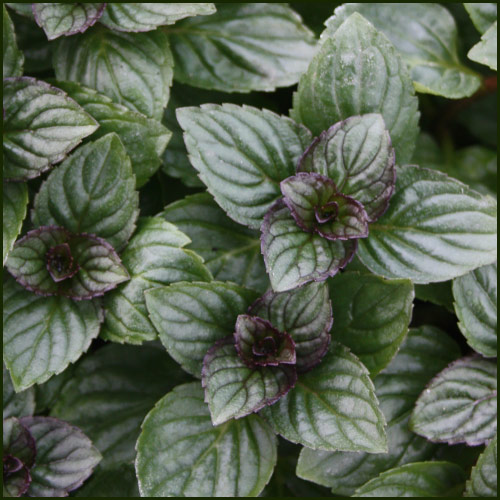 Mint, After Eight - Mentha piperita