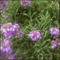 Sage, Spanish or Lavender Leaved - Salvia lavandulifolia