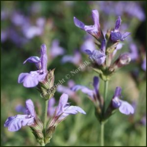 Sage, Spanish or Lavender Leaved - Salvia lavandulifolia