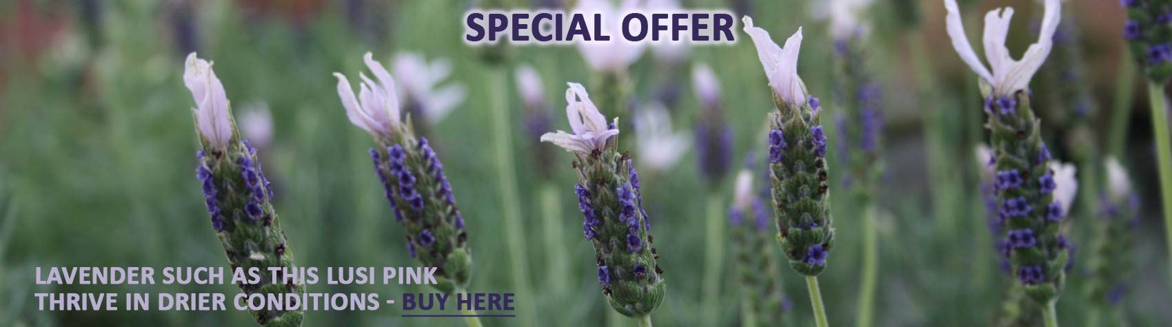lavender offer