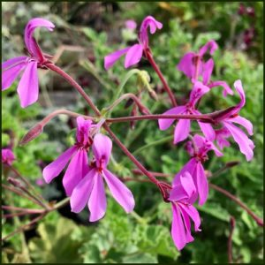 Scented Pelargonium - Geranium - 'Brilliantine'