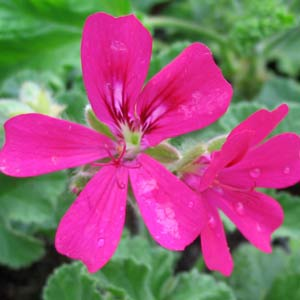 Scented Pelargoniums