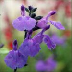salvia lavender dilly dilly