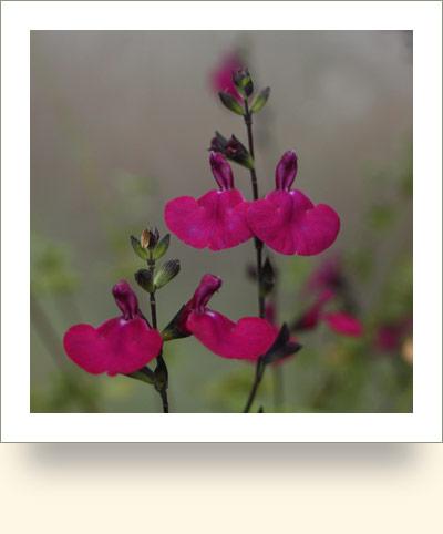 Buy Salvia Norfolk Herbs Amistad Hot Lips Nachtvlinder