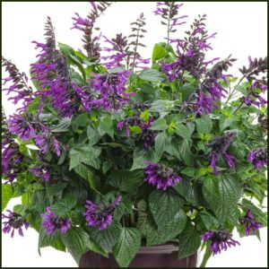 salvia rockin deep purple
