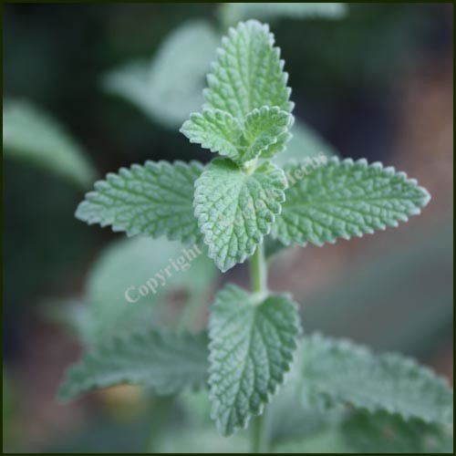 Catmint 6 Hills Giant nepeta