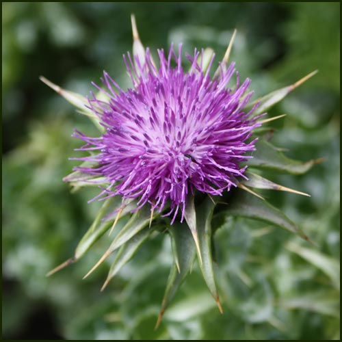 Thistle Milk - Silybum marianum